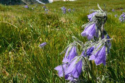Kwiaty Rosnace W Tatrach Informacje Przewodnik Tatrzanski Wycieczki W Tatry Przewodnik Zakopane